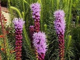 SHIP FROM US 17,500 Marsh Blazing Star Seeds, ZG09 - $64.36