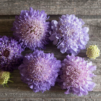 Primary image for Oxford Blue Scabiosa Seed, Pincushion Scabiosa Flower Seed