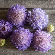 Oxford Blue Scabiosa Seed, Pincushion Scabiosa Flower Seed - $21.00