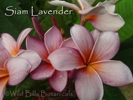 Cutting Plumeria frangipani *Siam Lavender* Fragrant, Rare & Exotic - $16.00