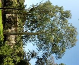 1948 Seeds of  Eucalyptus Camaldulensis -Murray Red Gum - River Redgum - $19.90