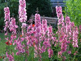 SHIP FROM US 50 PINK CHECKERMALLOW Sidalcea Hendersonii Henderson's Seed... - $12.00