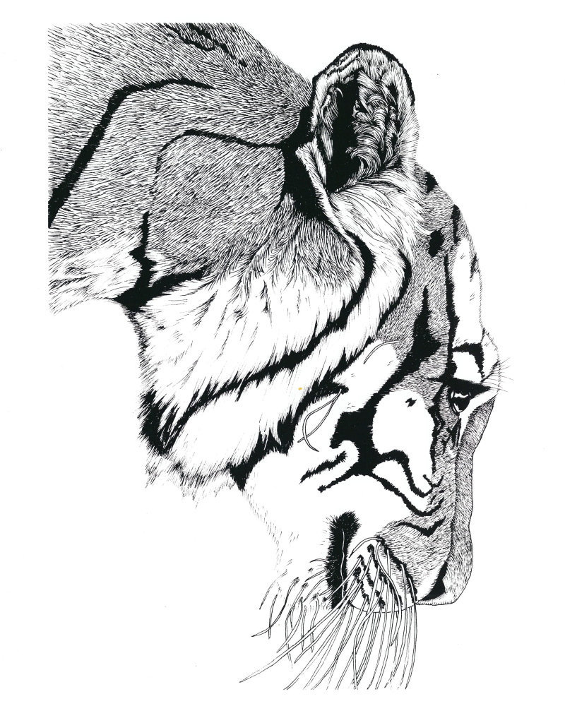 Tiger, Framed Matted Wildlife Art Print, Pen and Ink, Animal Art Drawing
