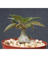 """SHIP From US, 4"""" pot Dorstenia foetida, succulent plant cacti ECC - $66.99"""