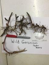 WILD GERANIUM 5 roots maculatum image 2