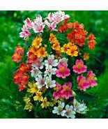 SHIPFromUS Peruvian Lily Hybrid(Alstroemeria Hybrida Dr.Salters Mix)15+S... - $24.99