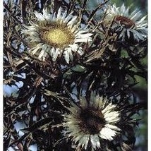 10 Pcs Seed Bronze Weather Thistle - Carlina – Perennial HH01 - $17.99