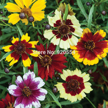 100pcs/lot Coreopsis,Tickseed seed flower bonsai plant DIY home garden - $7.16