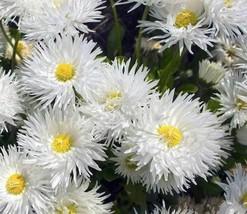 500pcs Easy to Grow Shasta Daisy Crazy Fresh Seeds #TLM1 - $25.99