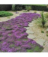 7000 Seeds Creeping Thyme Seeds, Heirloom, Non-GMO - $9.90