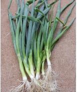 1000 SHIMONITA NEGI Japanese Bunching Onion seeds, Allium fistulosum - $15.00