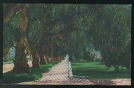 Pasadena California Famed Marengo Ave overhung by Pepper Trees Vintage P... - $4.99