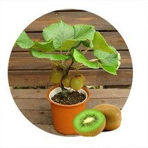 Mini Kiwi Fruit 10 Pcs Bonsai Plants Delicious Kiwi Small Fruit Trees Seed - $4.42