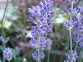 50 seed Lavender Flower Munstead - $15.72