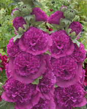 25 Seeds Violet Chaters Double Hollyhock 6 Ft Tall Alcea Rosea Flower - $6.95
