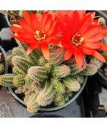 1 Live Bareroot 2 or 4 inch - Echinopsis Chamaecereus Peanut Cactus #SCL - $19.99+