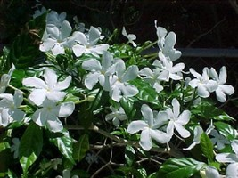 Fragrant Jasmine Plant Arabian Tea Flower Garden Patio Balcony Indoor In... - €9,69 EUR