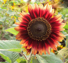 20 Seeds Of Each Pack Dark Sunflower Helianthus Annuus Flower Seed A244 For Gift - $13.58