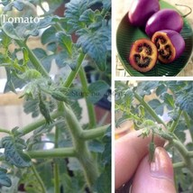 BEST PRICE 100 Seeds Small Bright Purple Tomato,DIY Vegetable Seeds E379... - $4.99