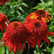 """3"""" pot 1 Live Potted Plant echinacea Sweet Chili hot double puffy AN1 - $41.99"""