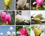 Nts magnolia seeds bonsai pot flowers seeds of perennial magnolia seeds multicolor thumb155 crop