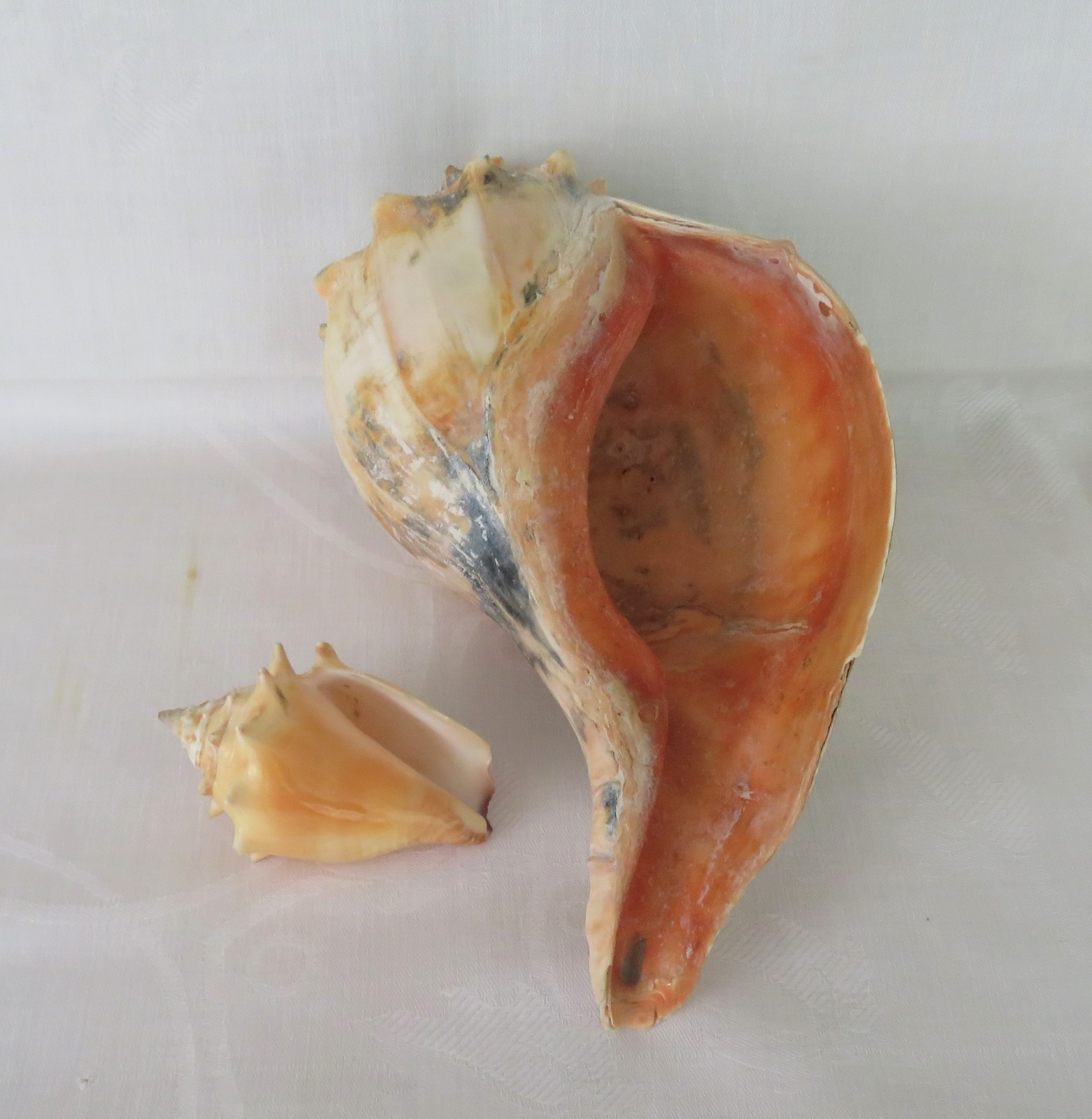 Primary image for Conch Sea Shells, TWO