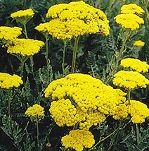 2000 Seeds of Gold Yarrow Achillea Filipendulina Drought Tolerant - $12.87