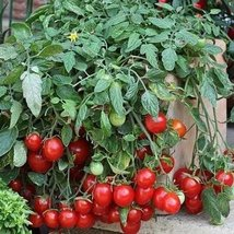 10 Seeds of Cherry Falls Tomato - $21.78