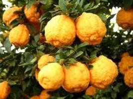 7 Dwarf Rough Lemon Tree Seeds-1279 - $4.98