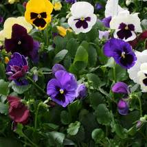 150 Pansy Seeds Character All Colors Mix FLOWER SEEDS - Garden & Outdoor Living - $48.99