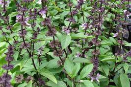 1000  Seeds Ocimum basilicum Seeds. Basil, Sweet basil, Ram Tulsi - $8.00