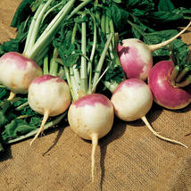 Purple Top White Globe Turnip Heirloom Packet contains 500 seeds   - $6.22