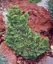 4 Year PLANT of Chamaecyparis Obtusa Gemstone - $198.00