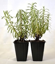 Hidcote Blue Lavender 2 Pack Aromatic Live Plant Garden and Home Outdoor Indoor - $19.75