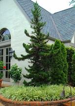 Cryptomeria Japoncia Black Dragon Japanese Cedar Green Garden Beauti Home - $30.19