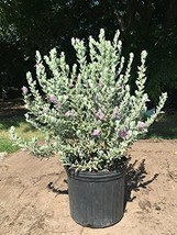 Texas Sage - Live Plant in a 3 Gallon Pot - Leucophyllum Frutescens - Drought To - $69.27