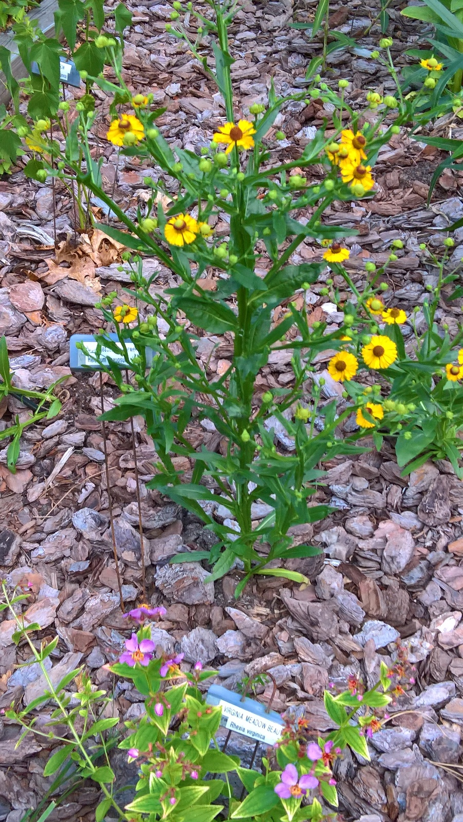 Organic Native Plant, Purple-headed Sneezeweed, Helenium flexuosum