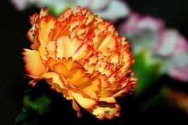 50 seeds - Orange Carnation Dianthus Caryophyllus Chabaud #SFB15 - $17.99