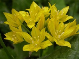 Allium moly, also known as golden garlic and lily leek Bulbs,Perennial in Zones - $7.99