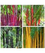 10Pcs Mix Color Giant Moso Bamboo Plant Seeds Phyllostachys Aureosulcata... - $9.74