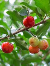 Live Plant Barbados Acerola Cherry Tree Plant For Home Garden - $31.70