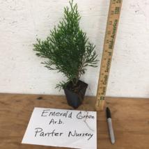 "25 EMERALD GREEN Arborvitae 3""pot - (Thuja occidentalis) image 2"