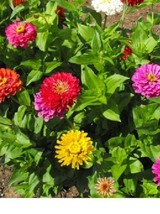 SHIP FROM US Zinnia, California Giants Flower Seeds SPT5 - $12.00