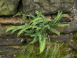 Maidenhair SPLEENWORT fern 20 rhizomes-(asplenium platyneuron) image 2