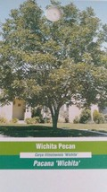 Wichita Pecan Tree Shade Trees Live Healthy Plant Large Pecans Nuts Wood Garden - $123.70