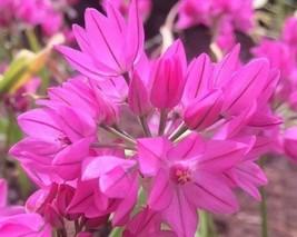 10 bulb Allium ostrowskianum Perennial in Zones 4-8 Allium oreophilum Si... - $14.99