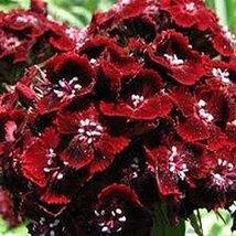 200 Dianthus (Dunetti) Seeds - $8.99