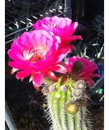 Echinopsis grandiflorus Hybrid Cactus 1 Great Large Colorful Flowers - $19.75