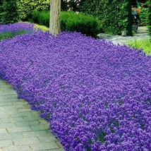 SHIP FROM US 100 Lavender Munstead Flower Seeds ( Lavandula Angustifolia... - $11.98