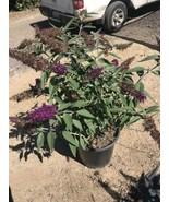 BUTTERFLY BUSH, Buddleia Davidii Live Plant In 1 Gallon Pot Large Purple... - $18.53